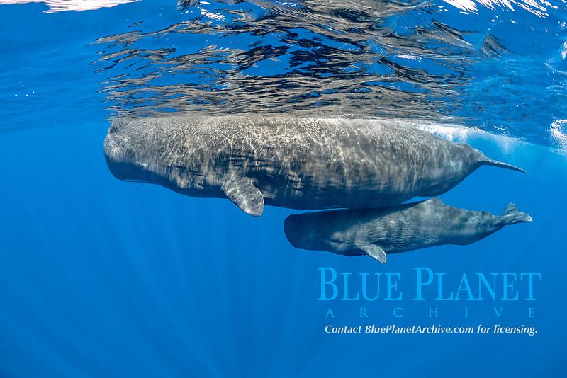 sperm whales mother and calf, Physeter macrocephalus, Dominica, Caribbean Sea, Atlantic Ocean, photo taken under permit n°RP 16-02/32 FIS-5
