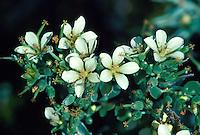 Native Geranium. Geranium cuneatum.  Found only on Maui.  Other native geranium species found on other islands