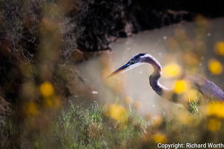 A Great blue heron, glimpsed through yellow flowers along a wetland trail on San Francisco Bay's eastern shore.
