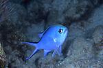 Blue chromis damselfish, Chromis cyanea