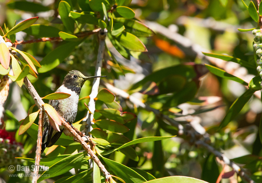Male Black-chinned Hummingbird, Archilochus alexandri, perches in a Bottlebrush tree, Callistemon sp., at Sacramento National Wildlife Refuge, California