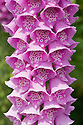 Foxglove (Digitalis purpurea), early June.