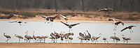 Sandhill Crane Migration Day 1, Aldo Leopold Foundation,  Fall/Winter 2016 | Photos by Greg Dixon