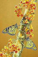 Two monarch butterflies, Danaus plexippus, perch on bough of bittersweet, Celastrus scandens with full berries