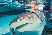 researcher holds newborn tiger shark, Galeocerdo cuvier, next to mother captured for U. Miami research (both released alive), Bahamas, Caribbean Sea, Atlantic Ocean