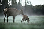 An elk nuzzles her calf in the early morning fog in Yellowstone National Park, Wyoming.
