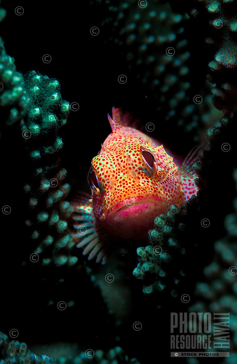 A Speckled Scorpionfish  ( Sebastapistes coniorta )seeks sanctuary in Antler Coral.