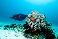 Highfin coral grouper, Plectropomus oligacanthus, in a leather coral. reef manta ray, Mobula alfredi, swimming close by. Raja Ampat, West Papua, Indonesia, Pacific Ocean