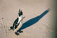 bird, African penguin Spheniscus demersus ecstatic call, note tracks, Cape Peninsula, South Africa, Indian Ocean, Southern Africa