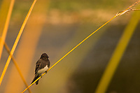 A tiny Black Phoebe, no more than six inches from head to tail, perches on a yellow strand of grass at a neighborhood park a touch of summer and urban wildlife.