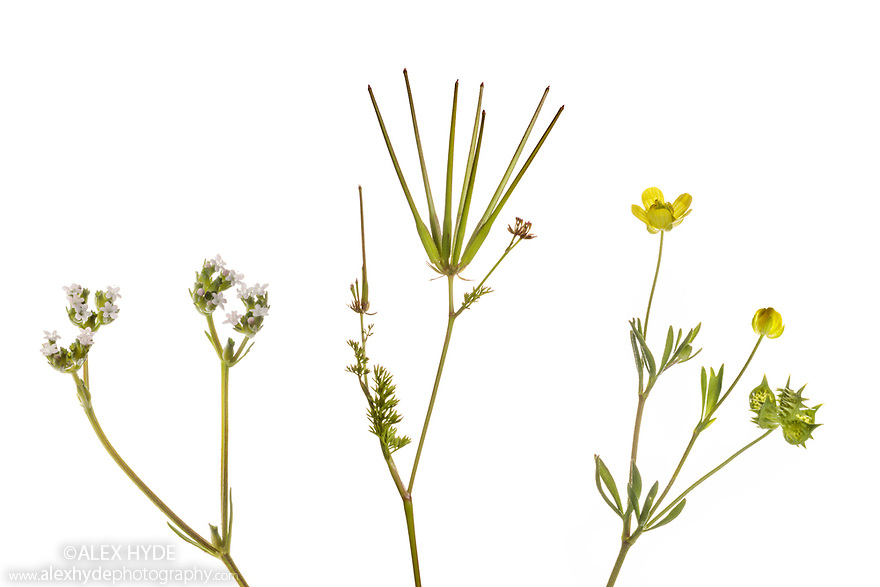 Rare arable weeds, from left to right: Narrow-fruited Cornsalad (Valerianella dentata), Shepherd's-needle (Scandix pecten-veneris) and Corn Buttercup (Ranunculus arvensis). Fivehead Arable Fields nature reserve, managed by the Somerset Widlife Trust. This site has one of the most important assemblages of rare arable weeds in Britain. Back from the Brink 'Colour in the Margins' project. Somerset, UK. June. Photographed against a white background in mobile field studio. Digital composite.