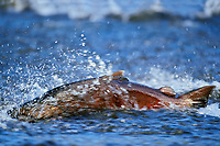 Lx379  Chinook salmon or king salmon powering up through shallow water on fall spawning migration.