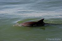 0129-08mm  Breaching Common Bottlenose Dolphin - Tursiops truncatus © David Kuhn/Dwight Kuhn Photography