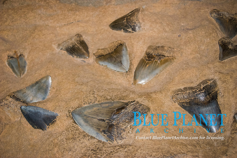 megalodon fossil teeth in rocks, Carcharocles megalodon, 15.9 - 2.6 million years old, Neogene period