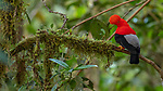 Ecuador, Andean cloud forest, Andean cock-of-the-rock (Rupicola peruvianus)