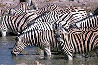 Zebra 's drinkend (Equus quagga)