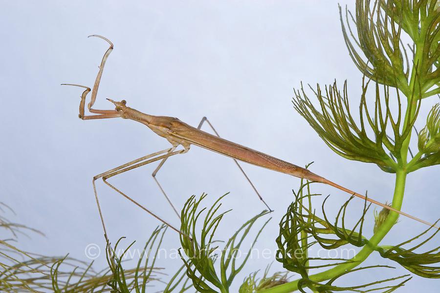 Stabwanze, Wassernadel, Ranatra linearis, Needle bug, water stick insect, Wasserinsekten
