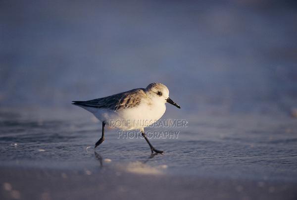 Sanderling, Calidris alba,adult running winter plumage, Sanibel Island, Florida, USA, Dezember 1998