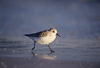Sanderling, Calidris alba,adult running winter plumage, Sanibel Island, Florida, USA, Dezember 1998