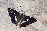 Großer Schillerfalter, Schillerfalter, Apatura iris, Purple Emperor, Le Grand Mars changeant