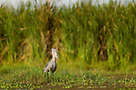 Shoebill (Balaeniceps rex) on swamp edge, Lake Albert, Toro-Semliki Wildlife Reserve, Western Rift Valley, Great Rift Valley, western Uganda