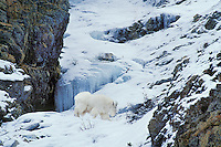 Mg448  Mountain Goat. Canadian Rockies. Winter.
