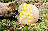 A coati refreshes with frozen fruit at the Bioparco of Rome, Italy, August 8, 2017. Rome temperatures exceeded 40 degrees C.<br /> UPDATE IMAGES PRESS/Riccardo De Luca