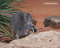 0906-0815  Red Kangaroo, Macropus rufus  © David Kuhn/Dwight Kuhn Photography.