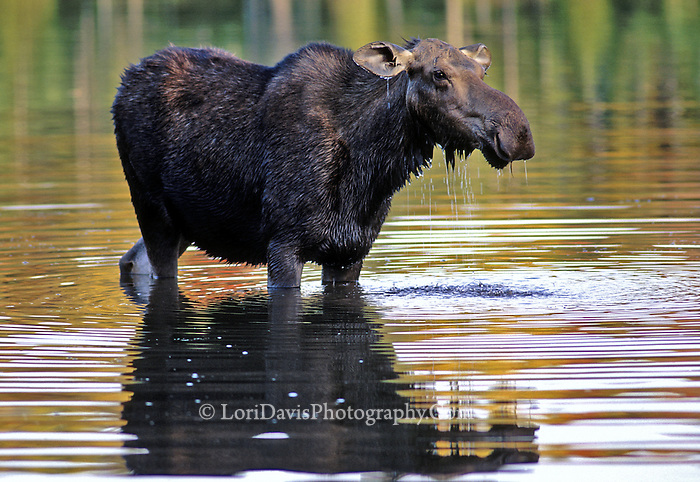 #M21 Cow Moose & Autumn Reflections