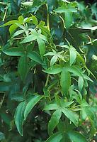 Liquidambar styraciflua 'Palo Alto' sweetgum tree
