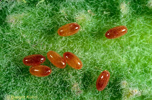 HE05-025b   Large Milkweed Bug Eggs on milkweed seed pod, Oncopeltus fasciatus.