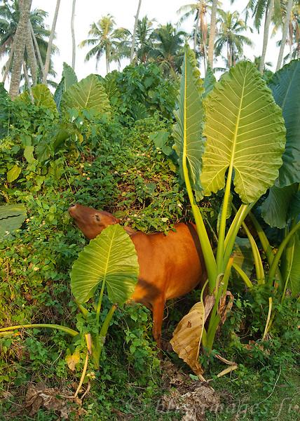 Cows forage the tropical Island at Barberyn (Beruwala) Lighthouse -near Bentota, Sri Lanka