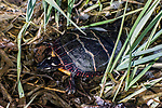painted turtle in marsh grass