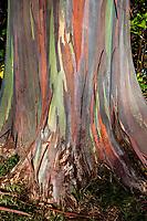 A close-up of a colorful rainbow eucalyptus tree trunk, Dole Plantation Center, Wahiawa, O'ahu.