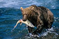 Coastal grizzly (Ursus arctos) catching salmon.  McNeil River, Alaska.  August.