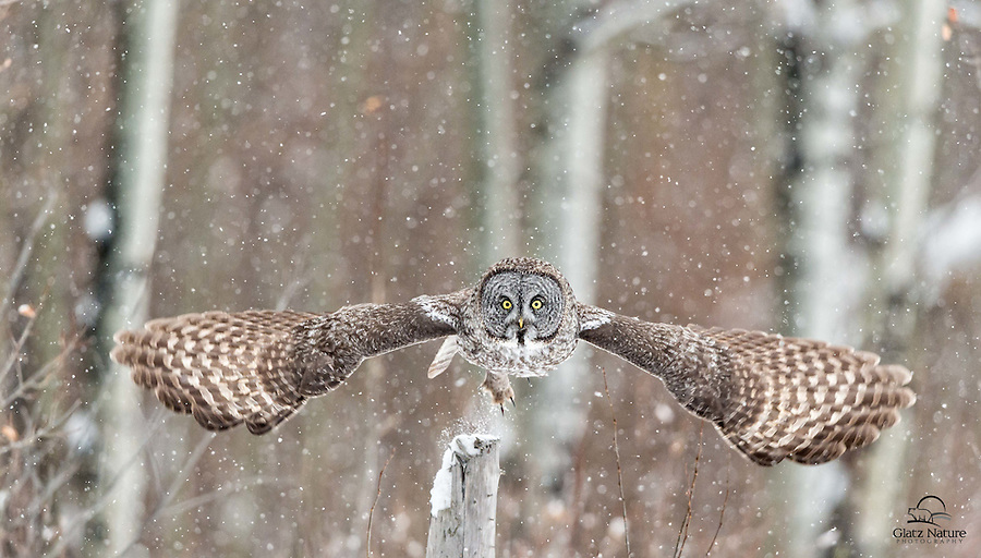 Launching itself from a fencepost, this Great Grey Owl (Strix nebulosa) struck a dramatic pose as it spread its wings to get maximum liftoff.  Alberta, Canada.