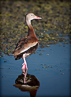 Black-Bellied Whistling-Duck standing on one foot in shallow water