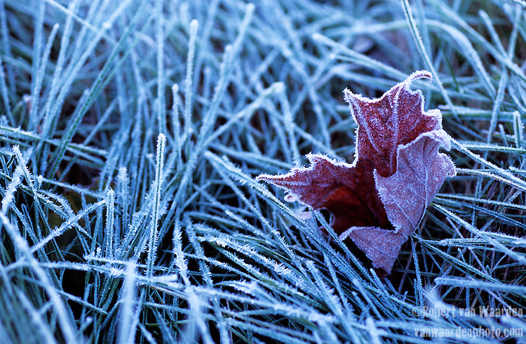 A frosted maple leaf.