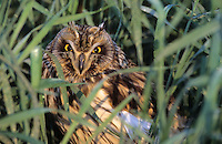 Sumpfohreule, Sumpf-Ohreule, Asio flammeus, short-eared owl
