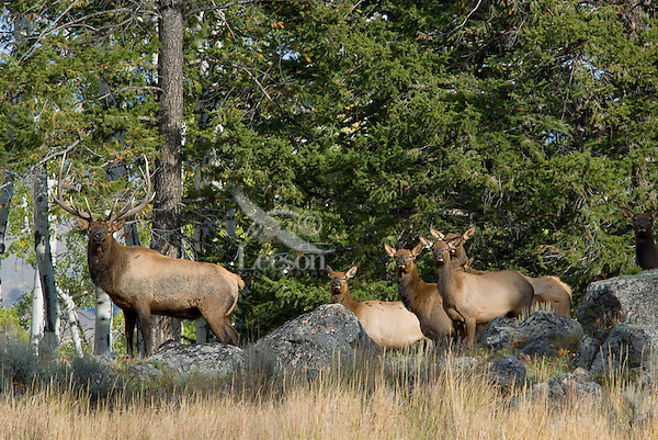 Rocky Mountain Elk herd--bull with part of his harem during fall rut.