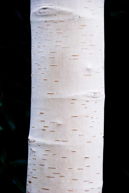 Betula utilis var. Jacquemontii, late October.