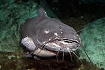 Channel Catfish swimming towards camera