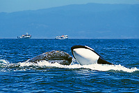 killer whale, Orcinus orca, and gray whale, Eschrichtius robustus, gray whale calf being rammed by hunting & attacking killer whale, Monterey Bay National Marine Sanctuary, California, USA, Pacific Ocean, 4 of 4