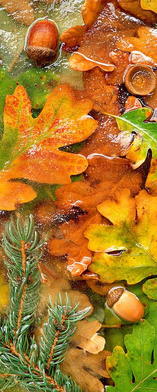 Fall colored Oregon White Oak leaves anf fir tree branches in frozen pond near Alpine, Oregon