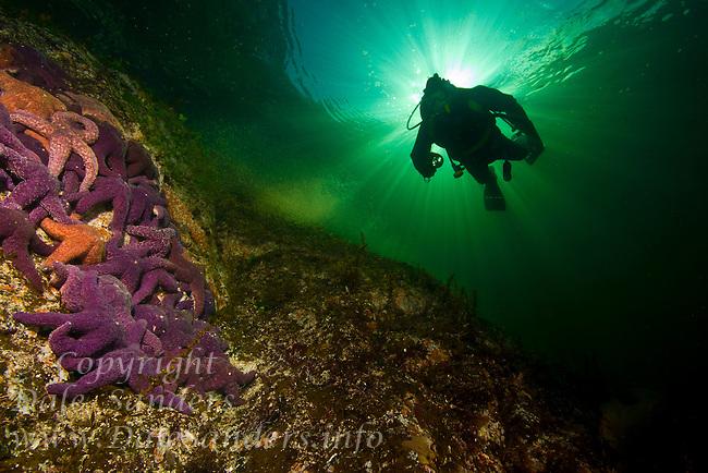 Diver floating above Ochre Sea Star (Pisater ochreceus) underwater in Agamemnon Channel on British Columbia's  Sunshine Coast. Canada