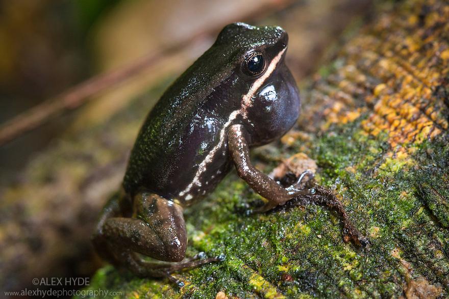 Talamanca Rocket Frog {Allobates talamancae} Central Caribbean foothills, Costa Rica. May.