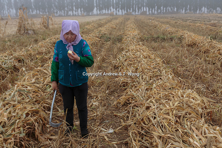 A local farmer, who are practising eco-agriculture, takes a break from harvesting millet in Alxa Left Banner, Inner Mongolia, China, October 2017.