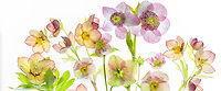 Bouquet of Hellebore flowers