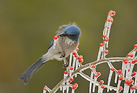 Western Scrub-Jay (Aphelocoma californica), adult picking berry on icy branch of Possum Haw Holly (Ilex decidua), Hill Country, Texas, USA