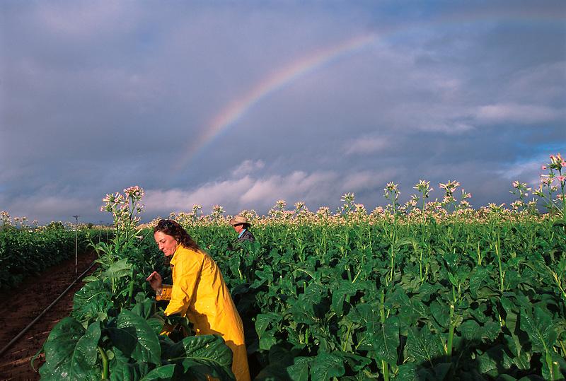 Rainy Morning 2, Sharon Collins (l) and David Adil Topping Tobacco, Adil's Farm, Mareeba, 2003.